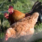 18089_325_poules_pondeuses_coq